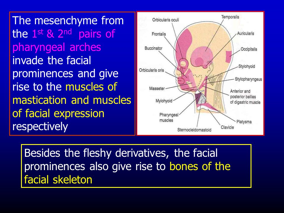 The mesenchyme from the 1st & 2nd pairs of pharyngeal arches invade the facial prominences and give rise to the muscles of mastication and muscles of facial expression respectively