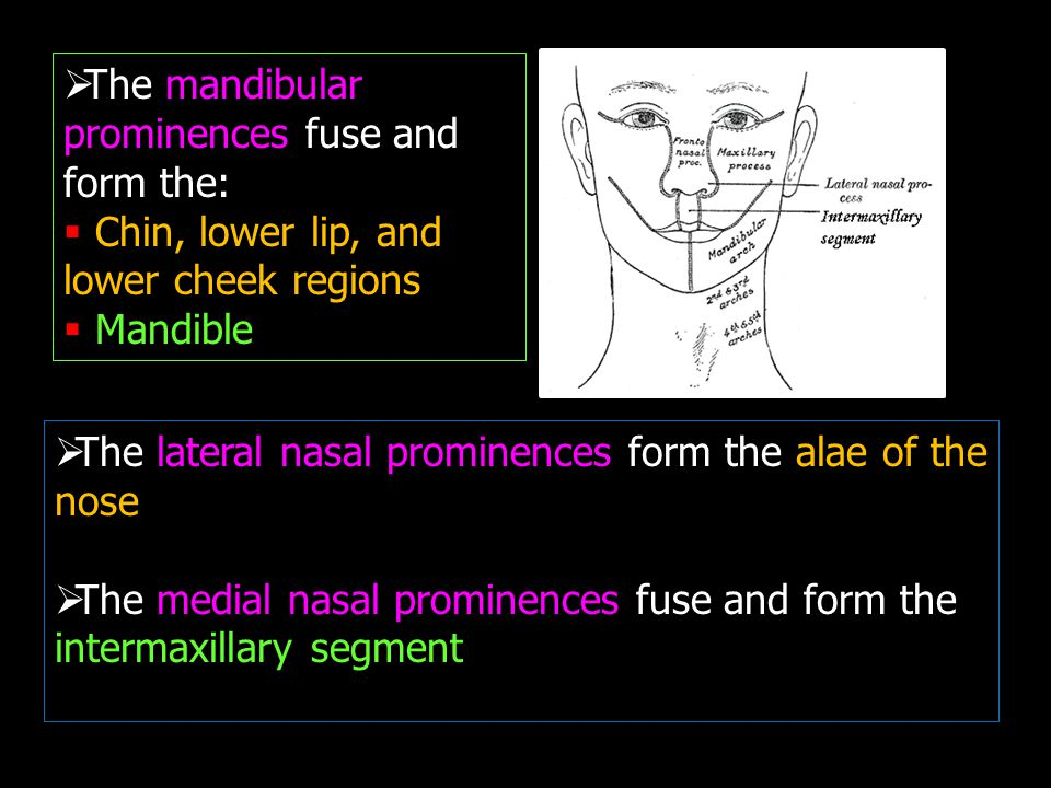 The mandibular prominences fuse and form the: