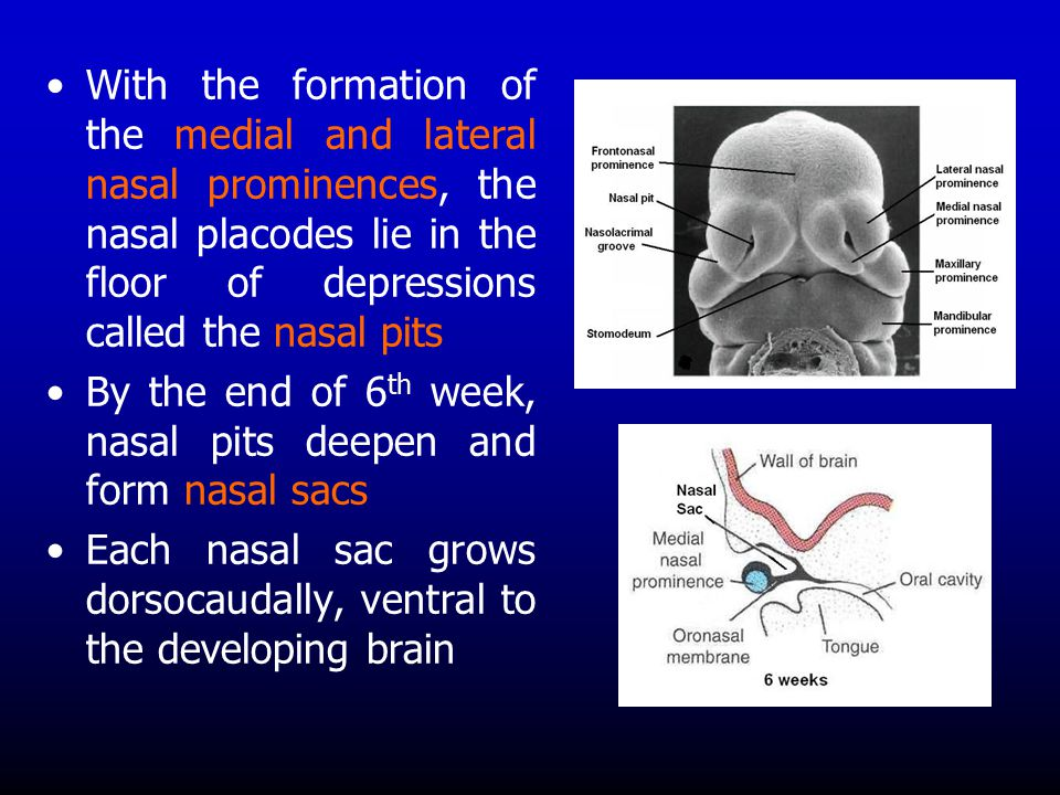 With the formation of the medial and lateral nasal prominences, the nasal placodes lie in the floor of depressions called the nasal pits