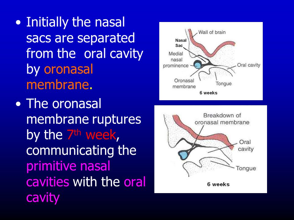 Initially the nasal sacs are separated from the oral cavity by oronasal membrane.
