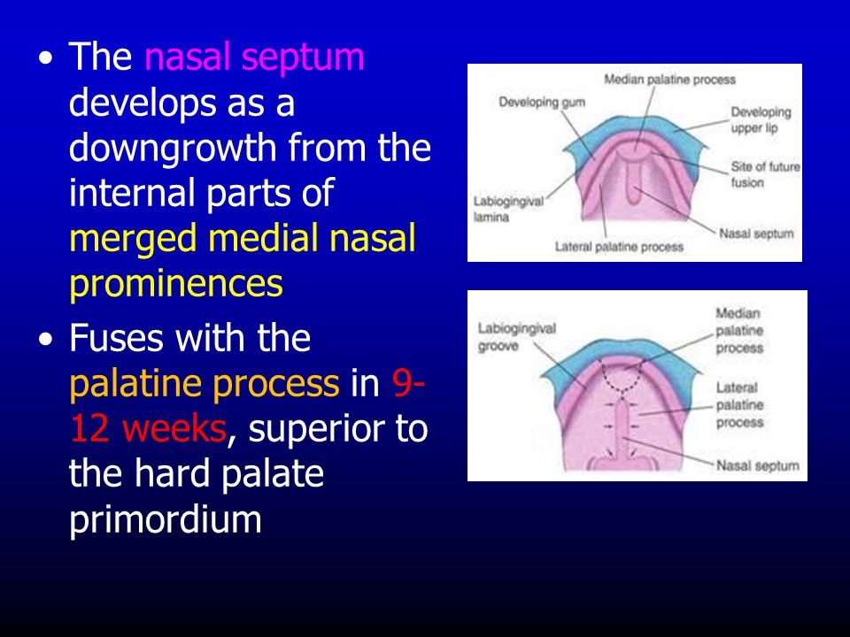 The nasal septum develops as a downgrowth from the internal parts of merged medial nasal prominences