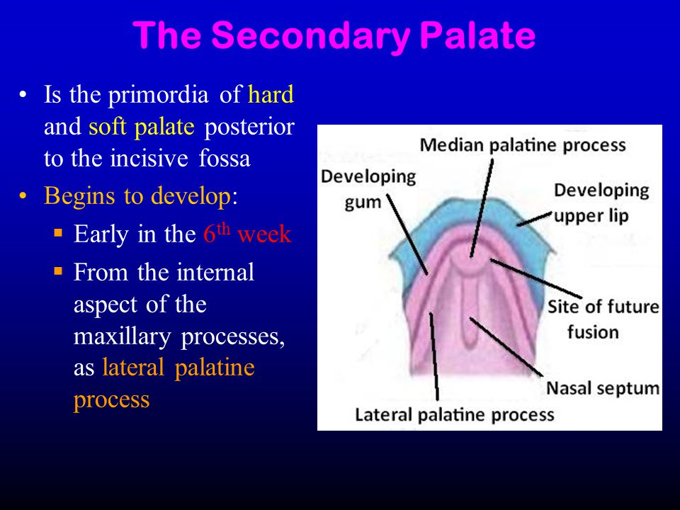 The Secondary Palate Is the primordia of hard and soft palate posterior to the incisive fossa. Begins to develop: