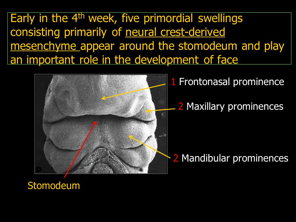 Early in the 4th week, five primordial swellings consisting primarily of neural crest-derived mesenchyme appear around the stomodeum and play an important role in the development of face