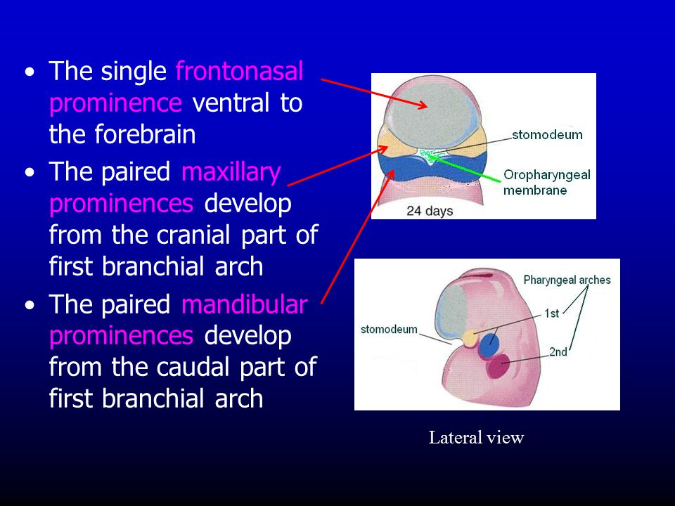 The single frontonasal prominence ventral to the forebrain