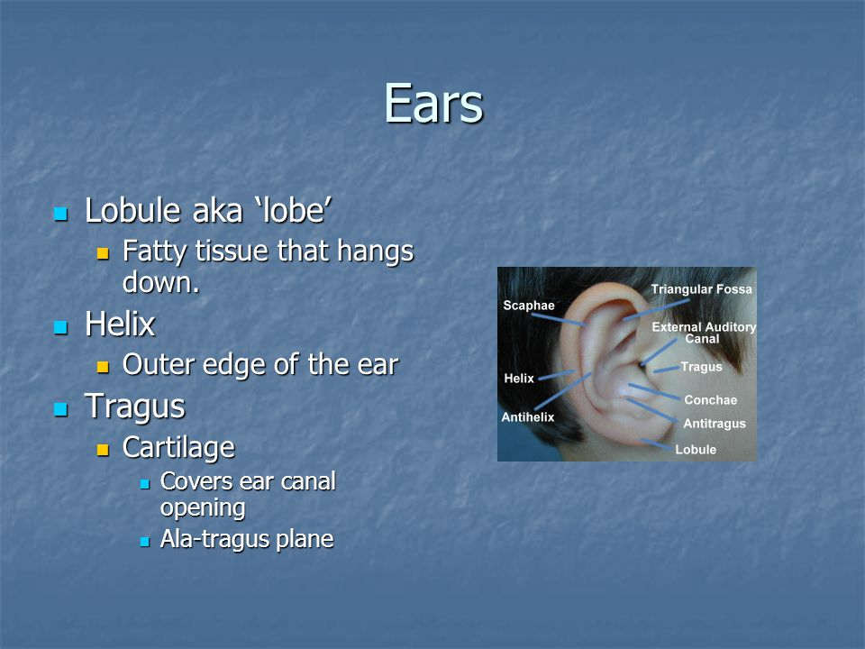 Ears Lobule aka 'lobe' Helix Tragus Fatty tissue that hangs down.