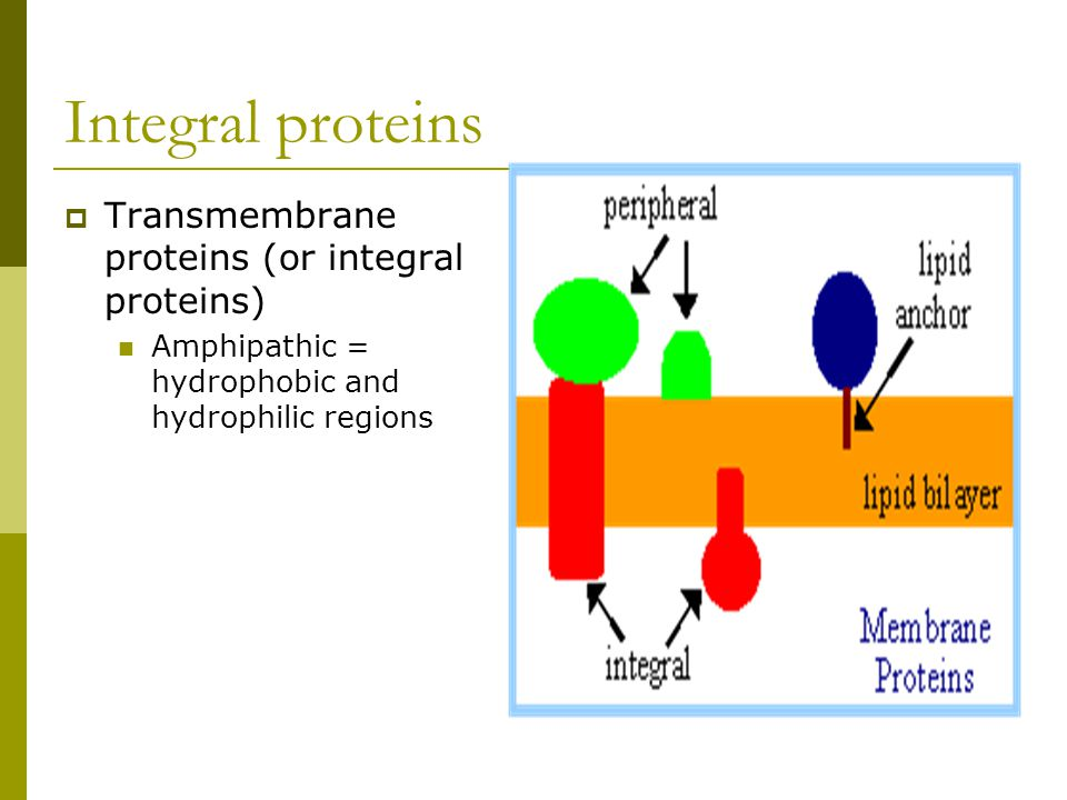 Integral proteins Transmembrane proteins (or integral proteins)