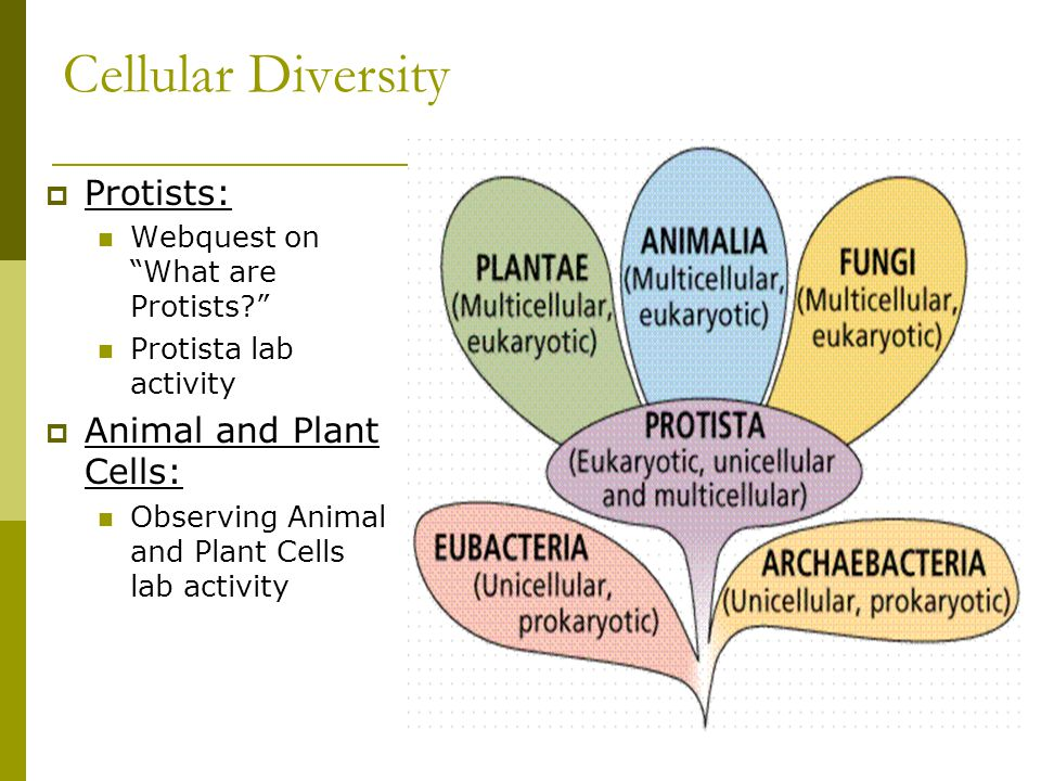 Cellular Diversity Protists: Animal and Plant Cells: