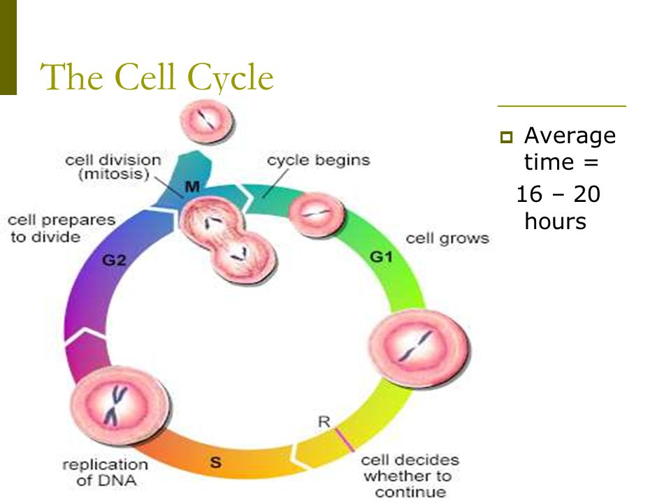 The Cell Cycle Average time = 16 – 20 hours