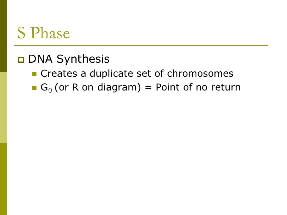 S Phase DNA Synthesis Creates a duplicate set of chromosomes