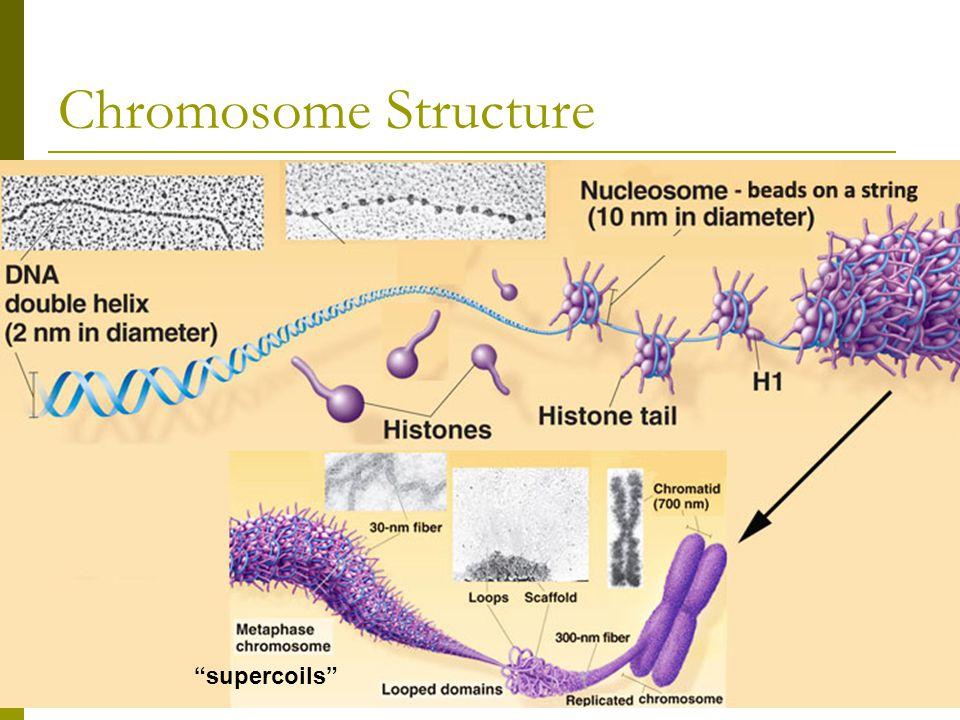 Chromosome Structure supercoils