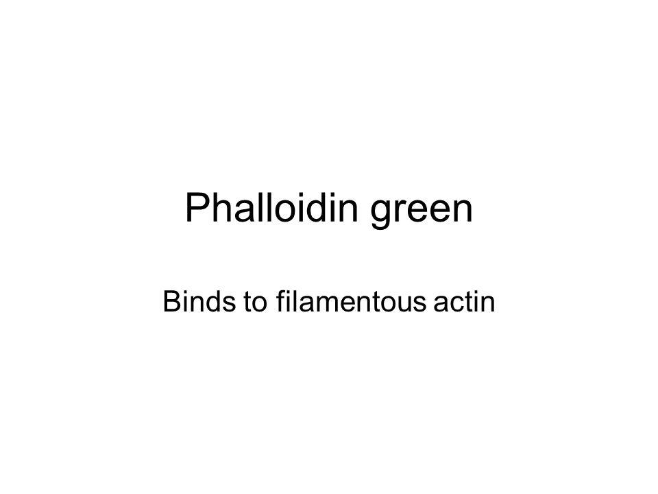 Binds to filamentous actin