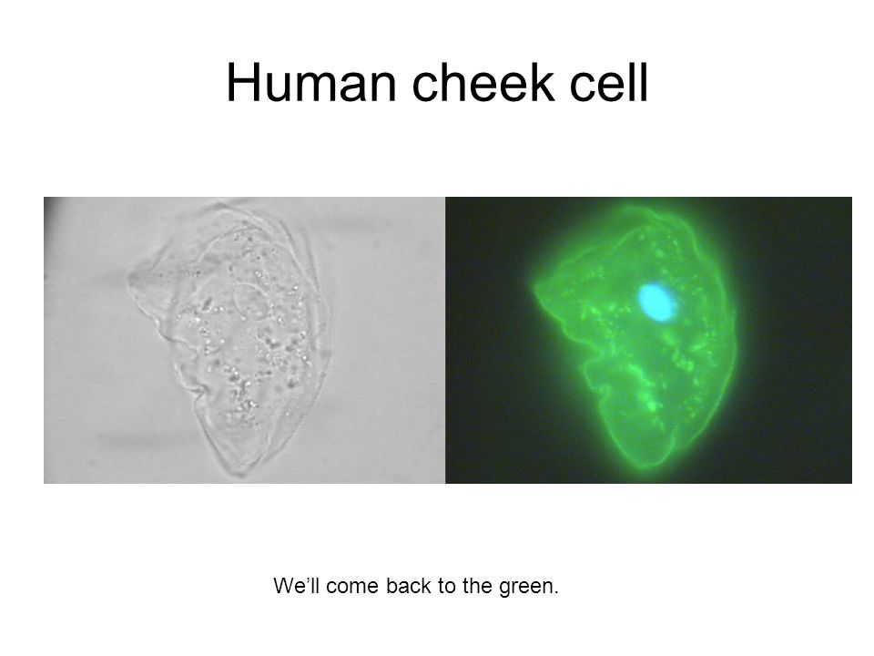 Human cheek cell We'll come back to the green.