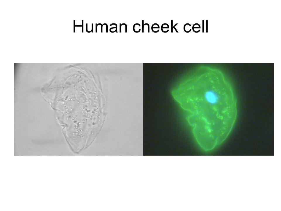 Human cheek cell