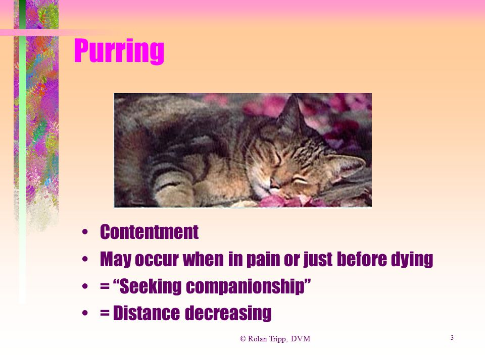 Purring Contentment May occur when in pain or just before dying