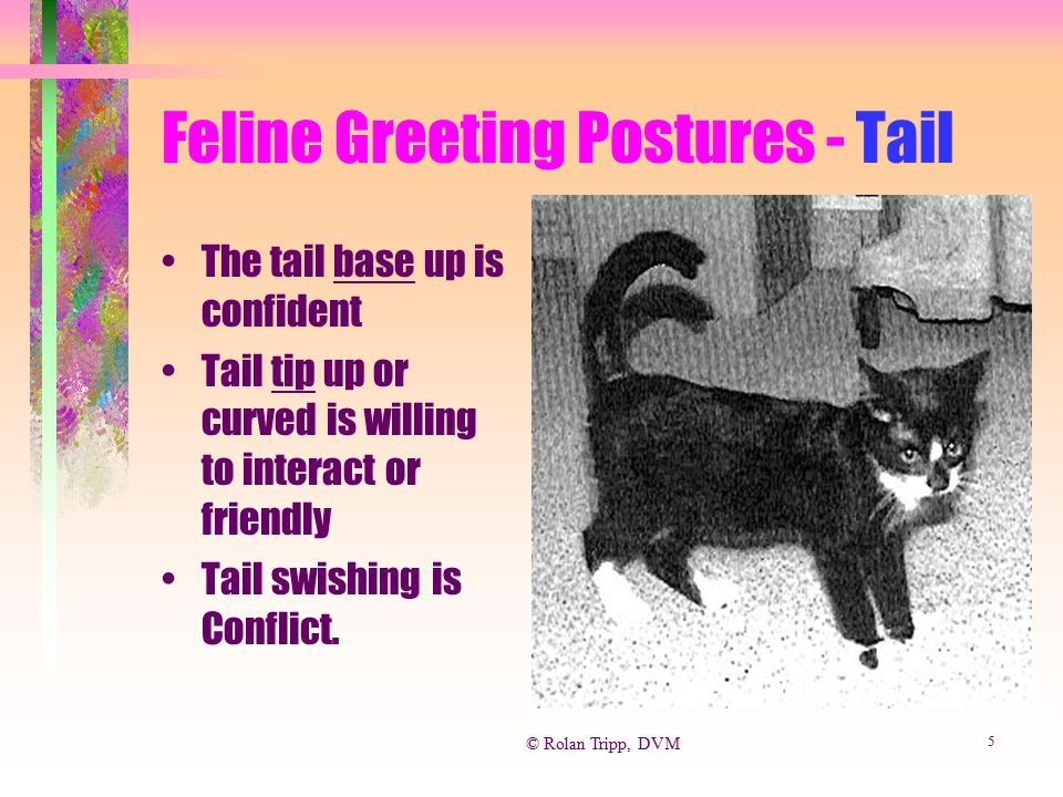 Feline Greeting Postures - Tail