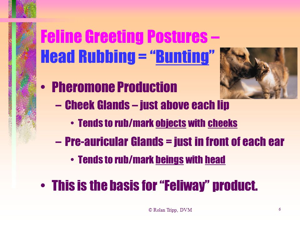 Feline Greeting Postures – Head Rubbing = Bunting