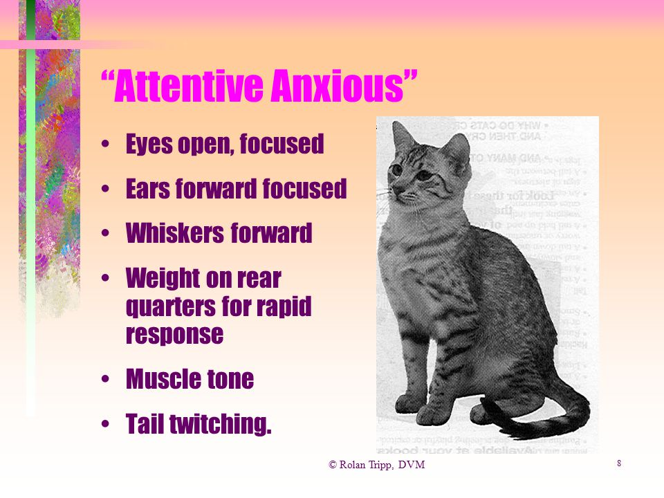 Attentive Anxious Eyes open, focused Ears forward focused