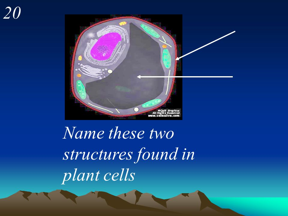 20 Name these two structures found in plant cells