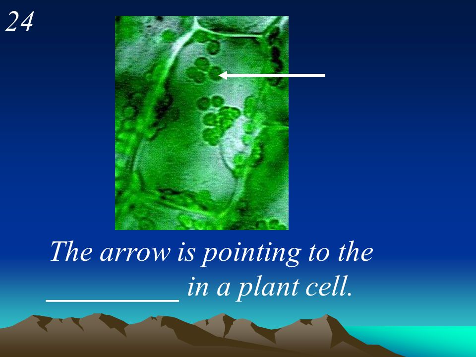 24 The arrow is pointing to the _________ in a plant cell.