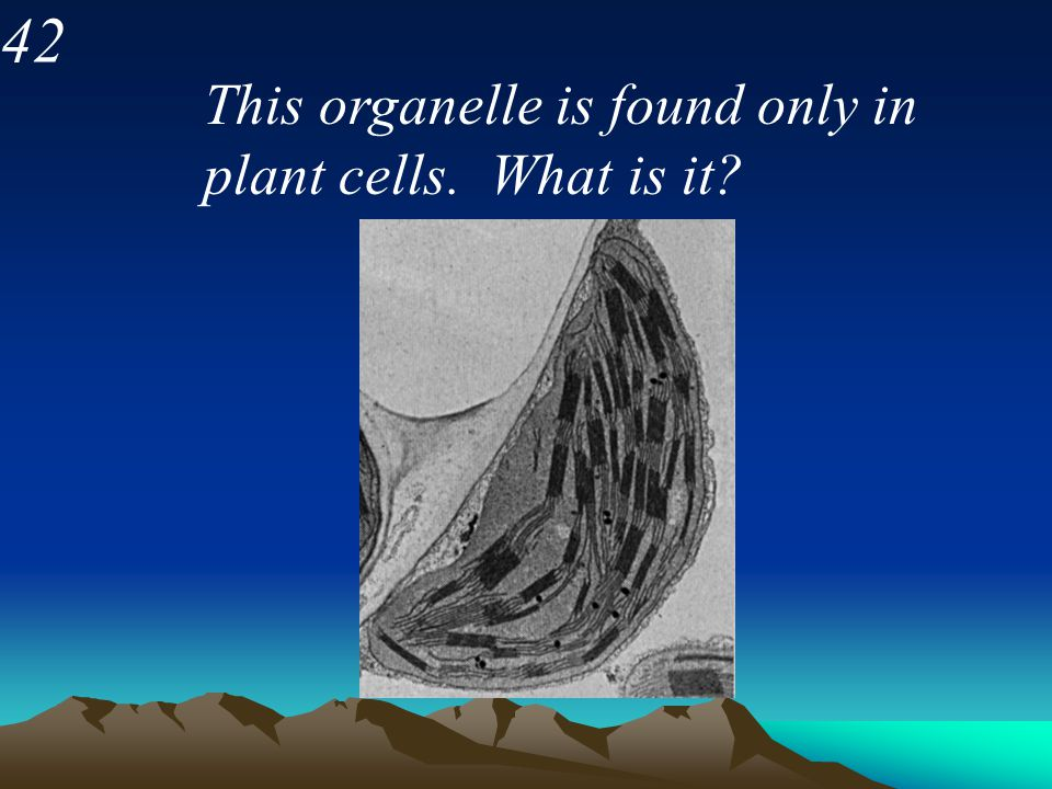 42 This organelle is found only in plant cells. What is it