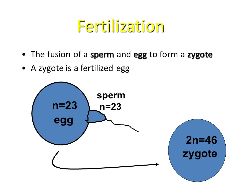 Fertilization n=23 egg 2n=46 zygote