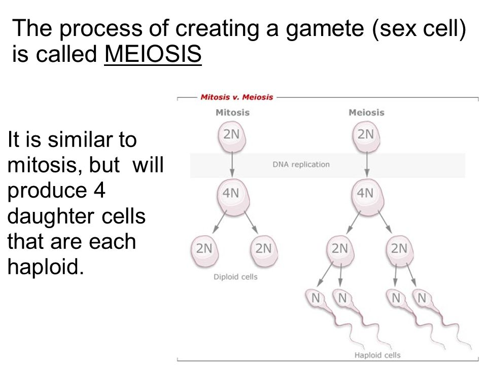 The process of creating a gamete (sex cell) is called MEIOSIS