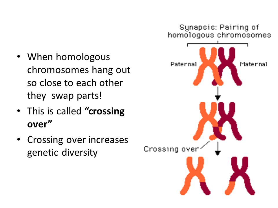 When homologous chromosomes hang out so close to each other they swap parts!
