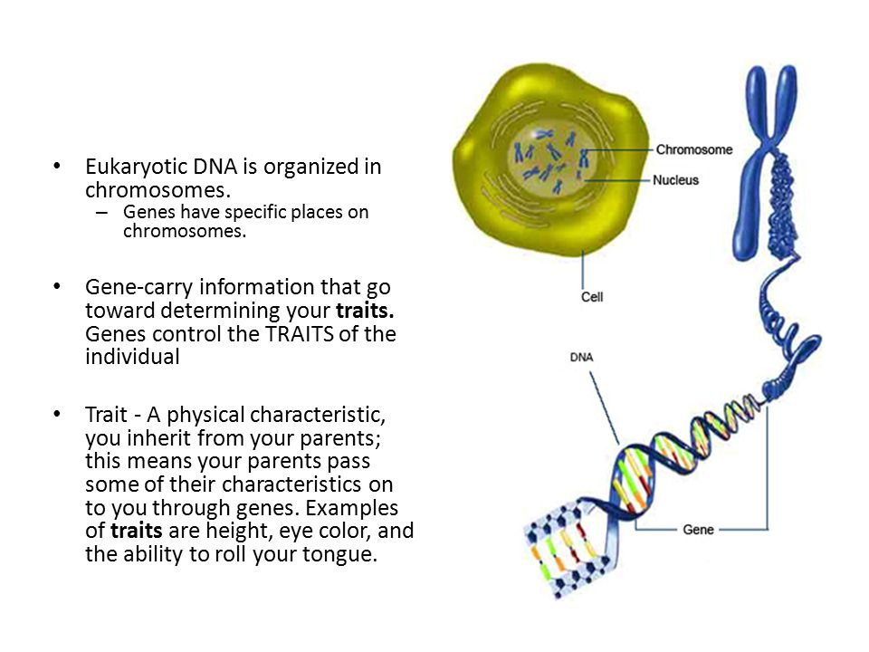 Eukaryotic DNA is organized in chromosomes.