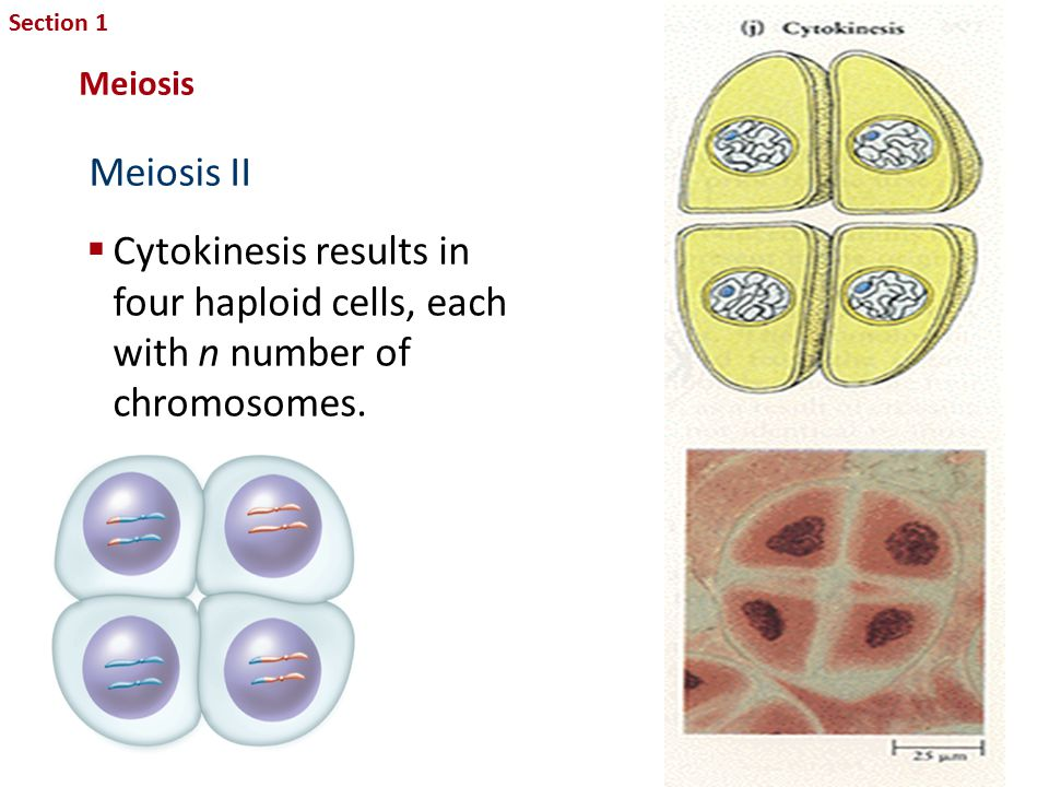 Section 1 Sexual Reproduction and Genetics. Meiosis. Meiosis II. Cytokinesis results in four haploid cells, each with n number of chromosomes.