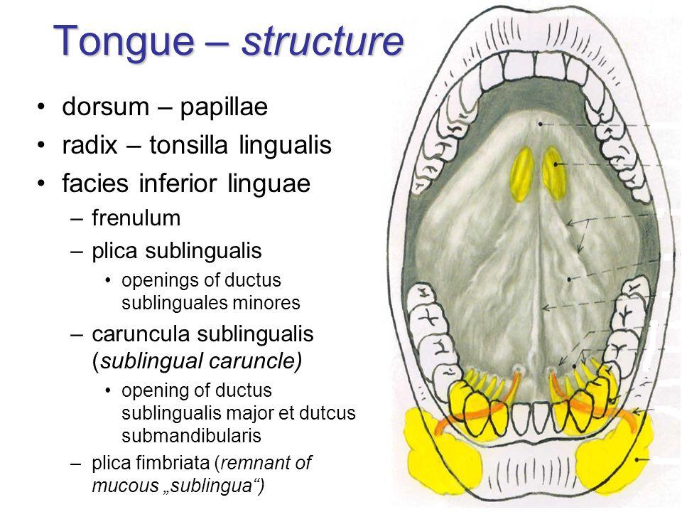 Tongue – structure dorsum – papillae radix – tonsilla lingualis