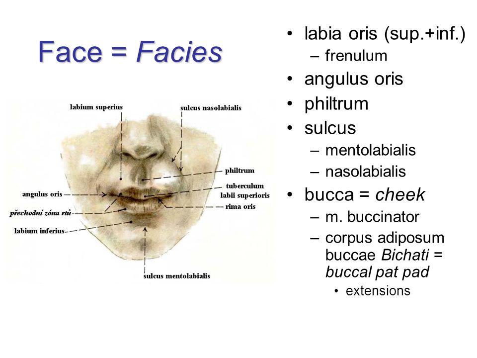 Face = Facies labia oris (sup.+inf.) angulus oris philtrum sulcus