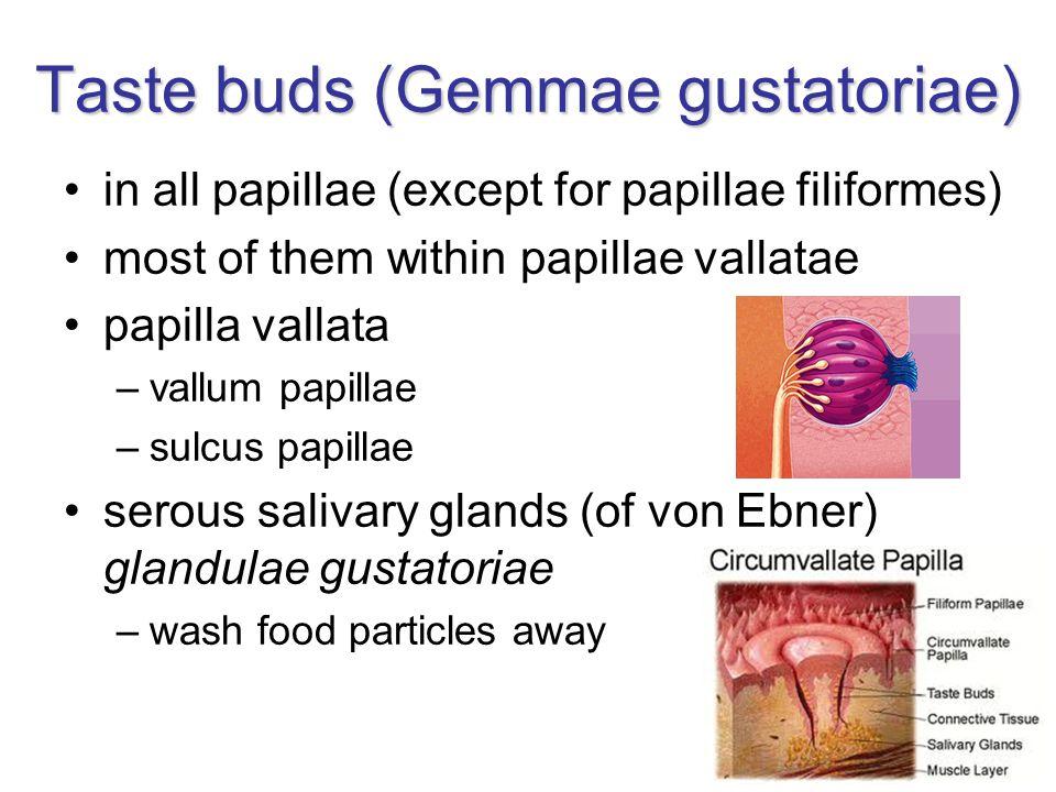 Taste buds (Gemmae gustatoriae)