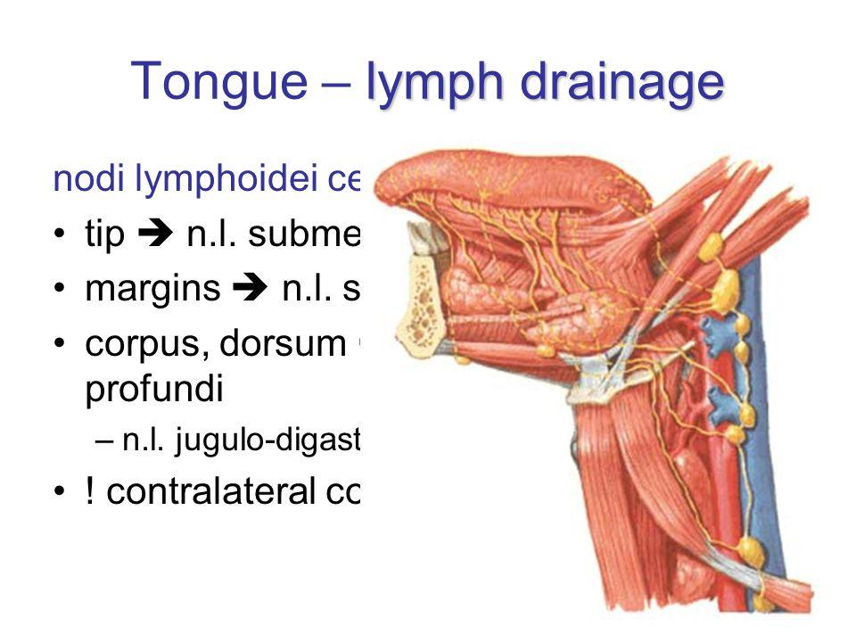 Tongue – lymph drainage