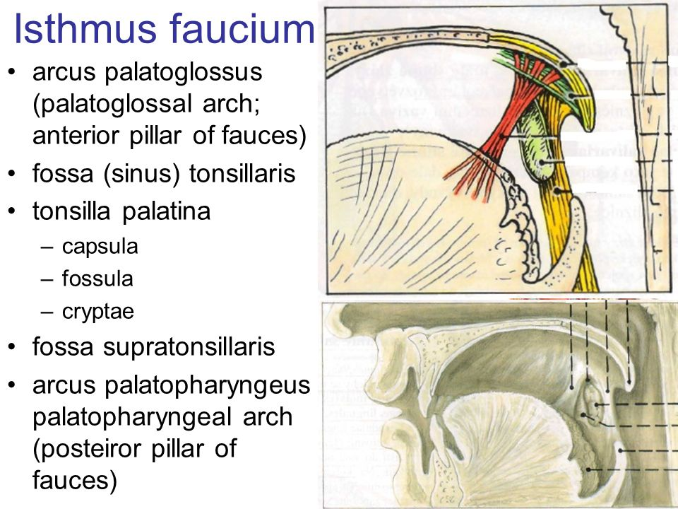 Isthmus faucium arcus palatoglossus (palatoglossal arch; anterior pillar of fauces) fossa (sinus) tonsillaris.