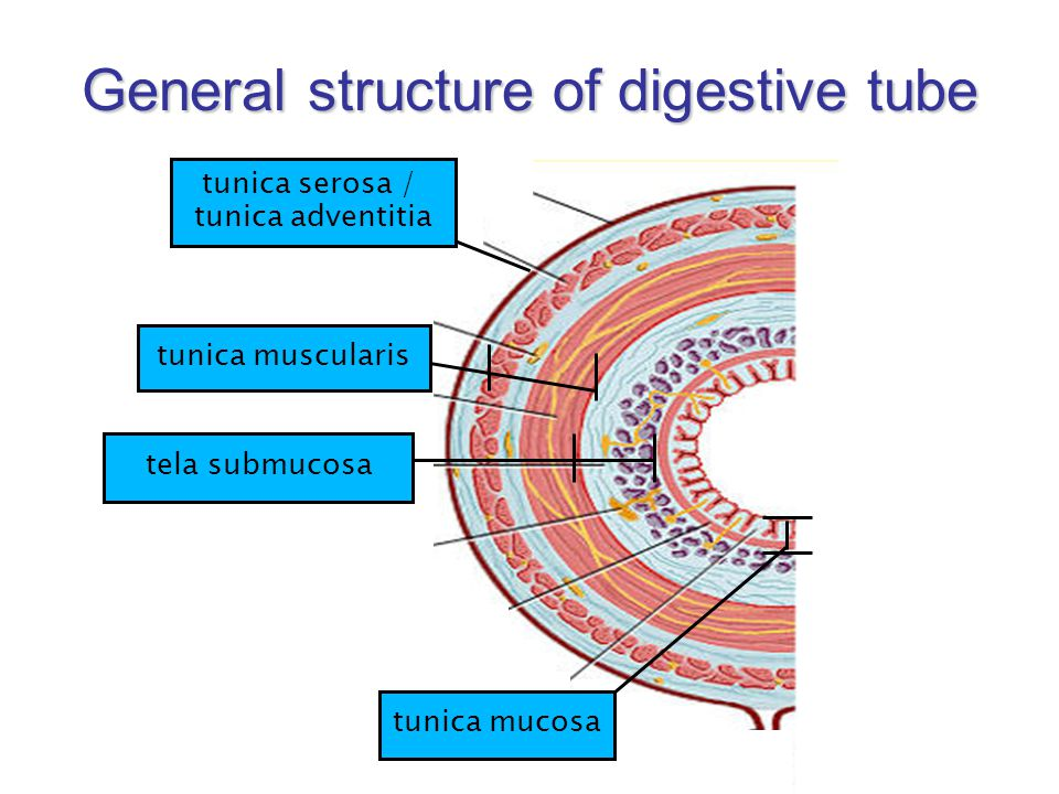 General structure of digestive tube