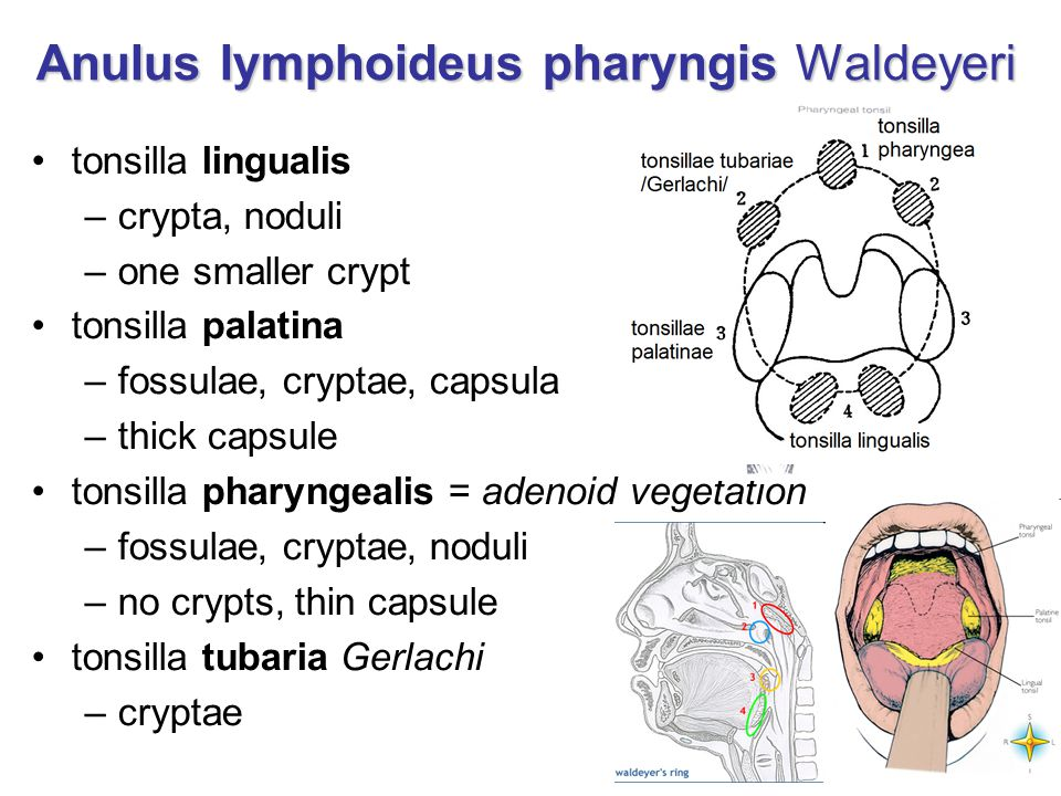 Anulus lymphoideus pharyngis Waldeyeri