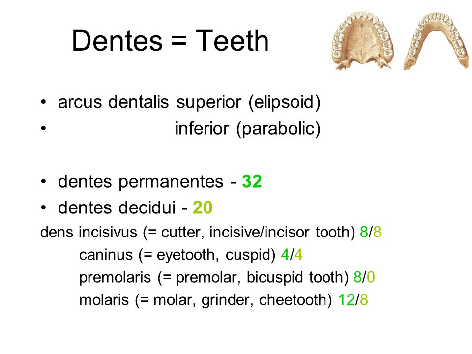 Dentes = Teeth arcus dentalis superior (elipsoid) inferior (parabolic)