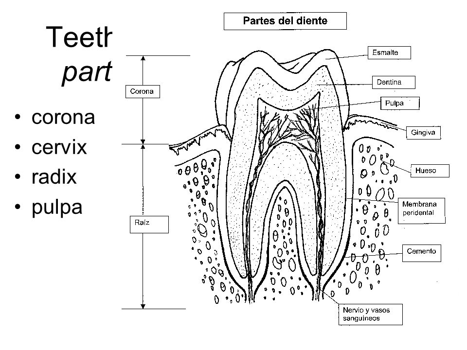 Teeth – parts corona cervix radix pulpa