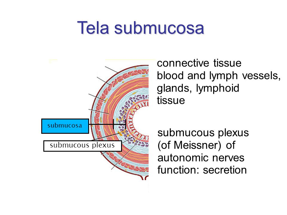 Tela submucosa connective tissue blood and lymph vessels,