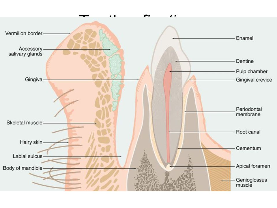 Teeth – fixation gomphosis = dentoalveolar juncture