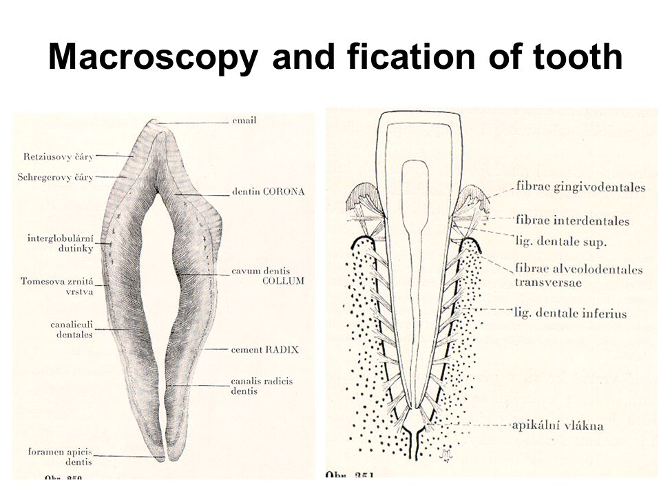 Macroscopy and fication of tooth
