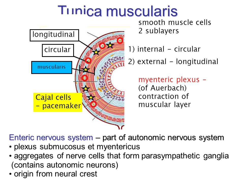 Tunica muscularis smooth muscle cells. 2 sublayers. longitudinal. Cajal cells. - pacemaker. circular.