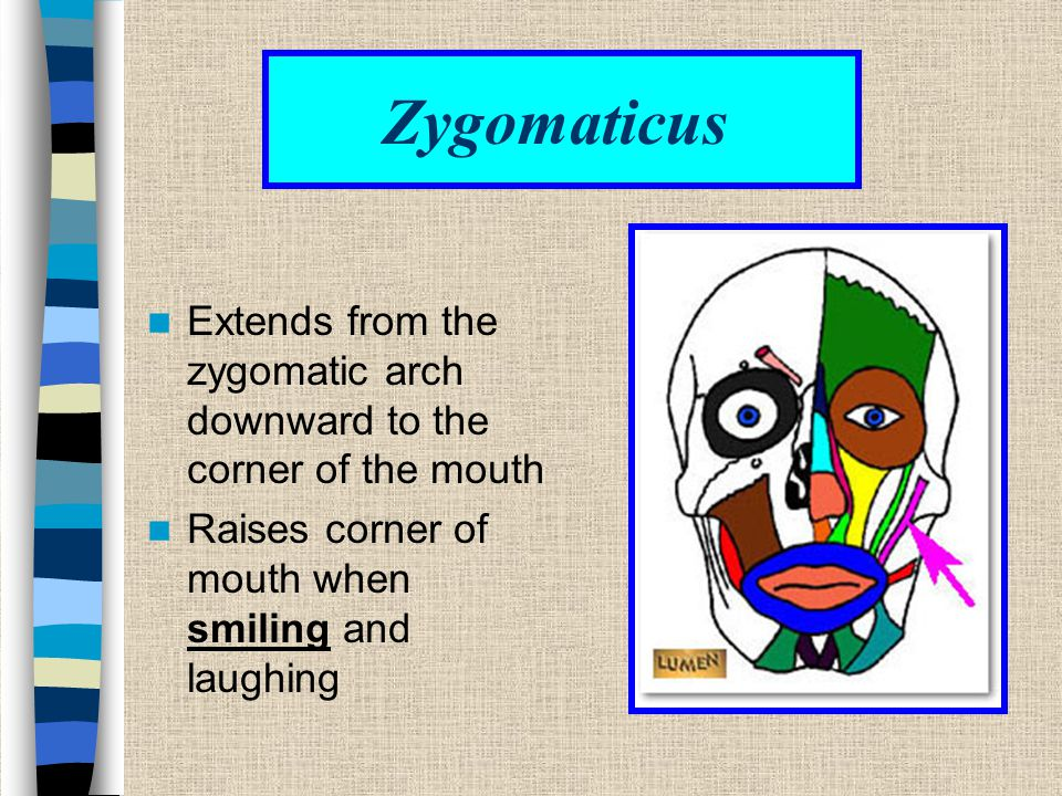 Zygomaticus Extends from the zygomatic arch downward to the corner of the mouth.