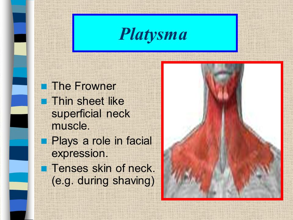 Platysma The Frowner Thin sheet like superficial neck muscle.