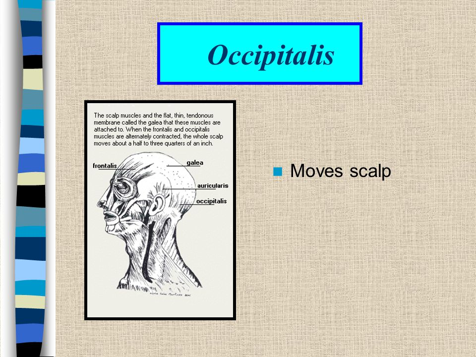Occipitalis Moves scalp