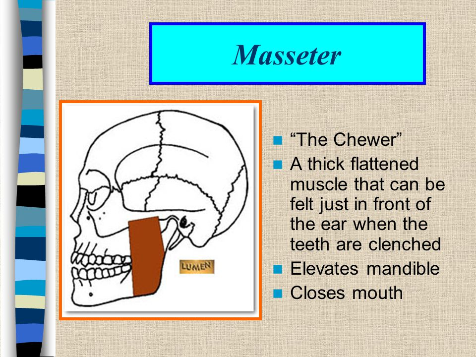 Masseter The Chewer A thick flattened muscle that can be felt just in front of the ear when the teeth are clenched.