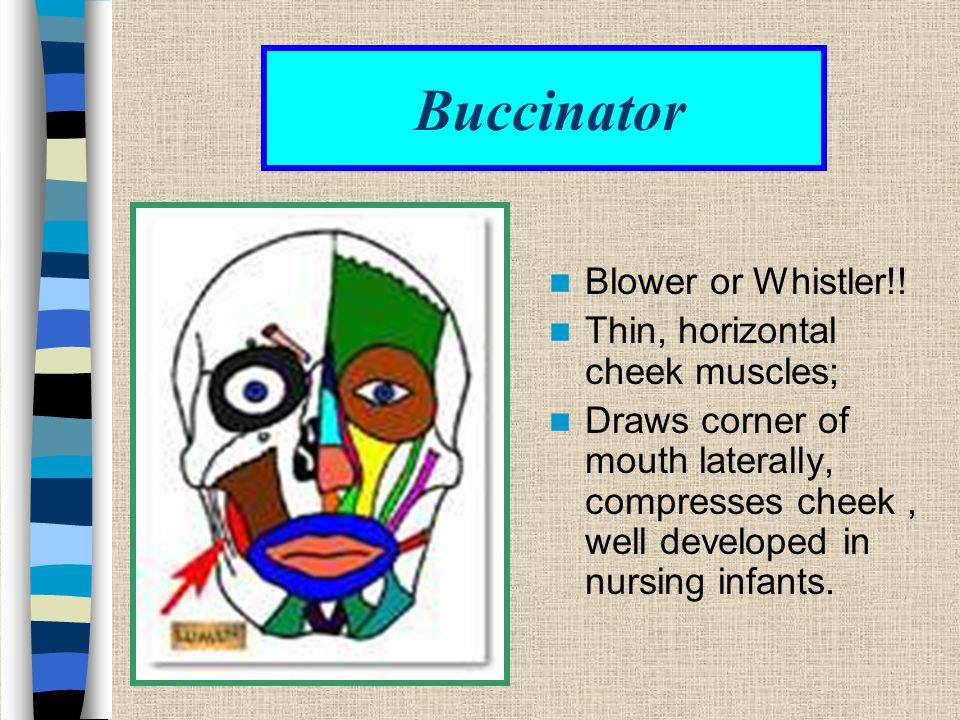 Buccinator Blower or Whistler!! Thin, horizontal cheek muscles;