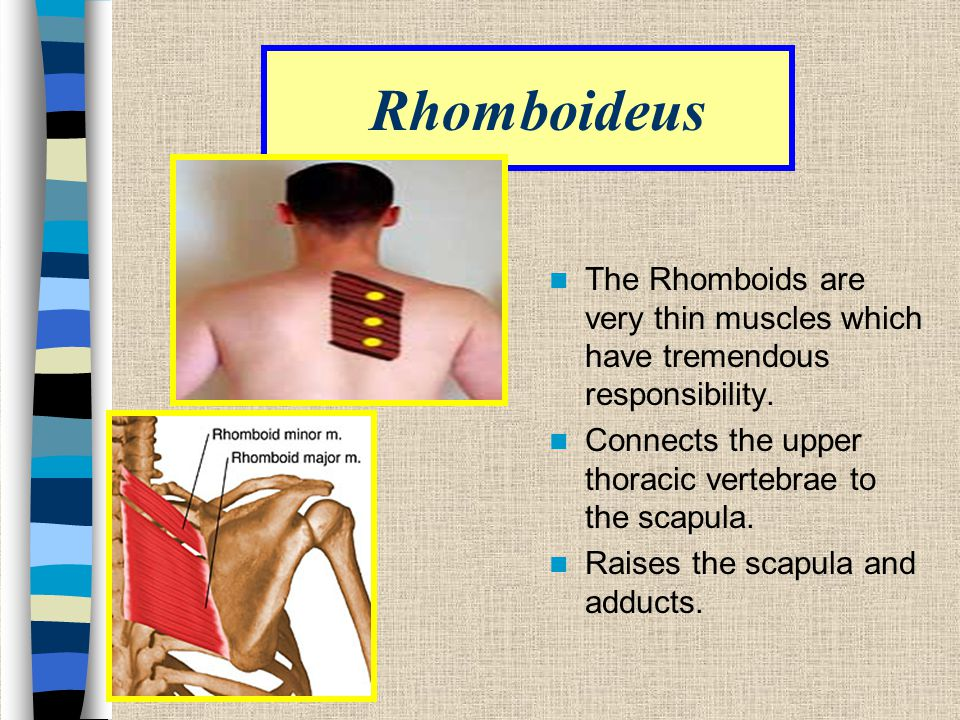 Rhomboideus The Rhomboids are very thin muscles which have tremendous responsibility. Connects the upper thoracic vertebrae to the scapula.