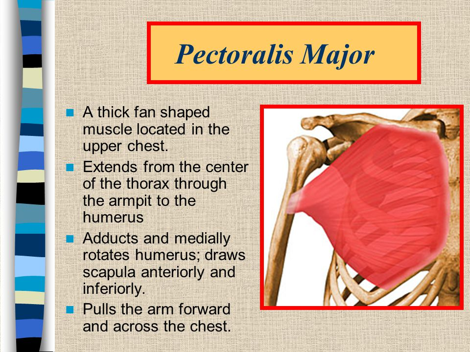 Pectoralis Major A thick fan shaped muscle located in the upper chest.