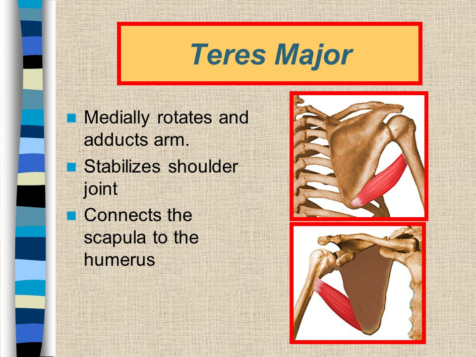 Teres Major Medially rotates and adducts arm.